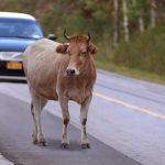 Acidentes de trânsito provocados por animais soltos na via
